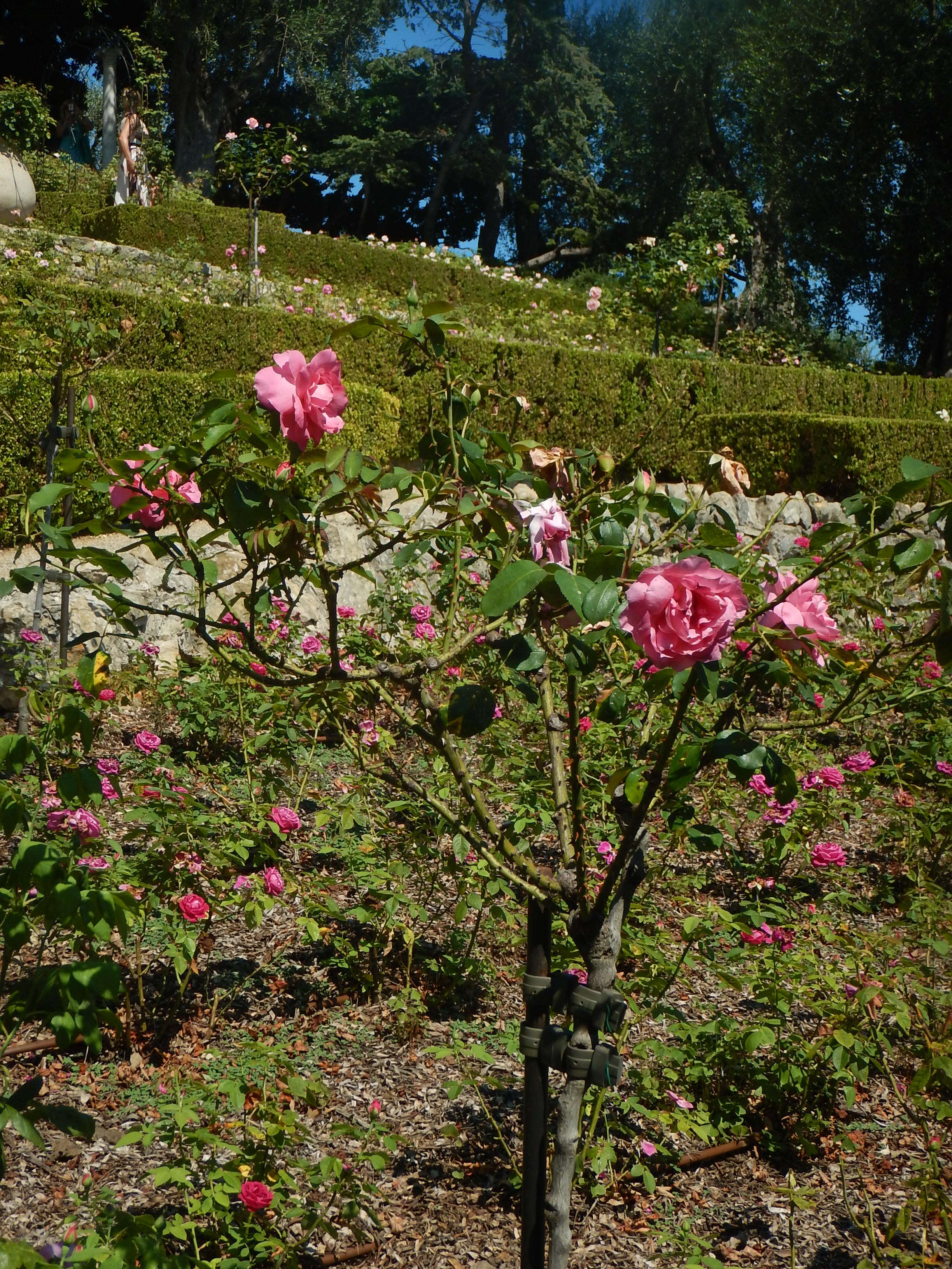 Well kept Rose garden on the south side of the ridge. There are 7 different garden rooms. All beautiful.