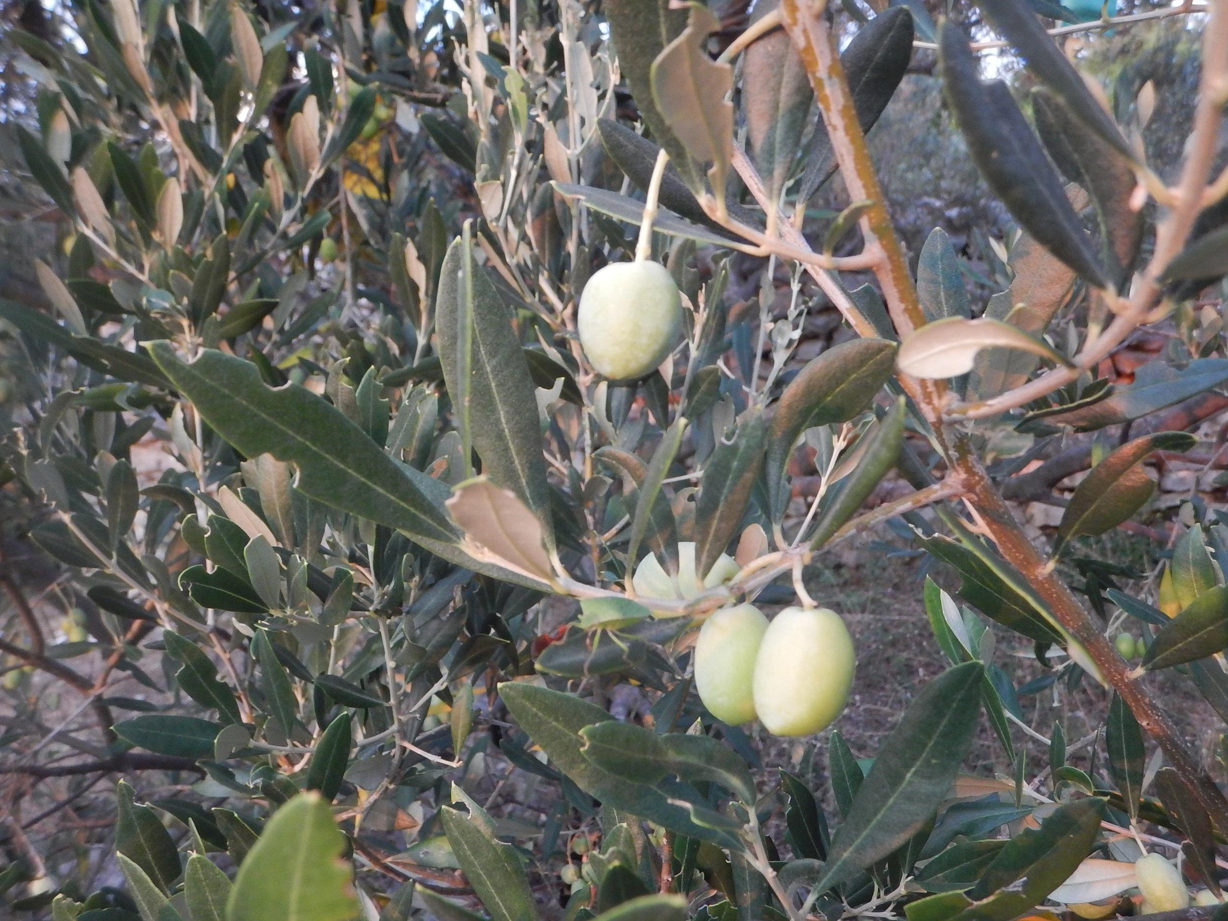 The ubiquitous olive