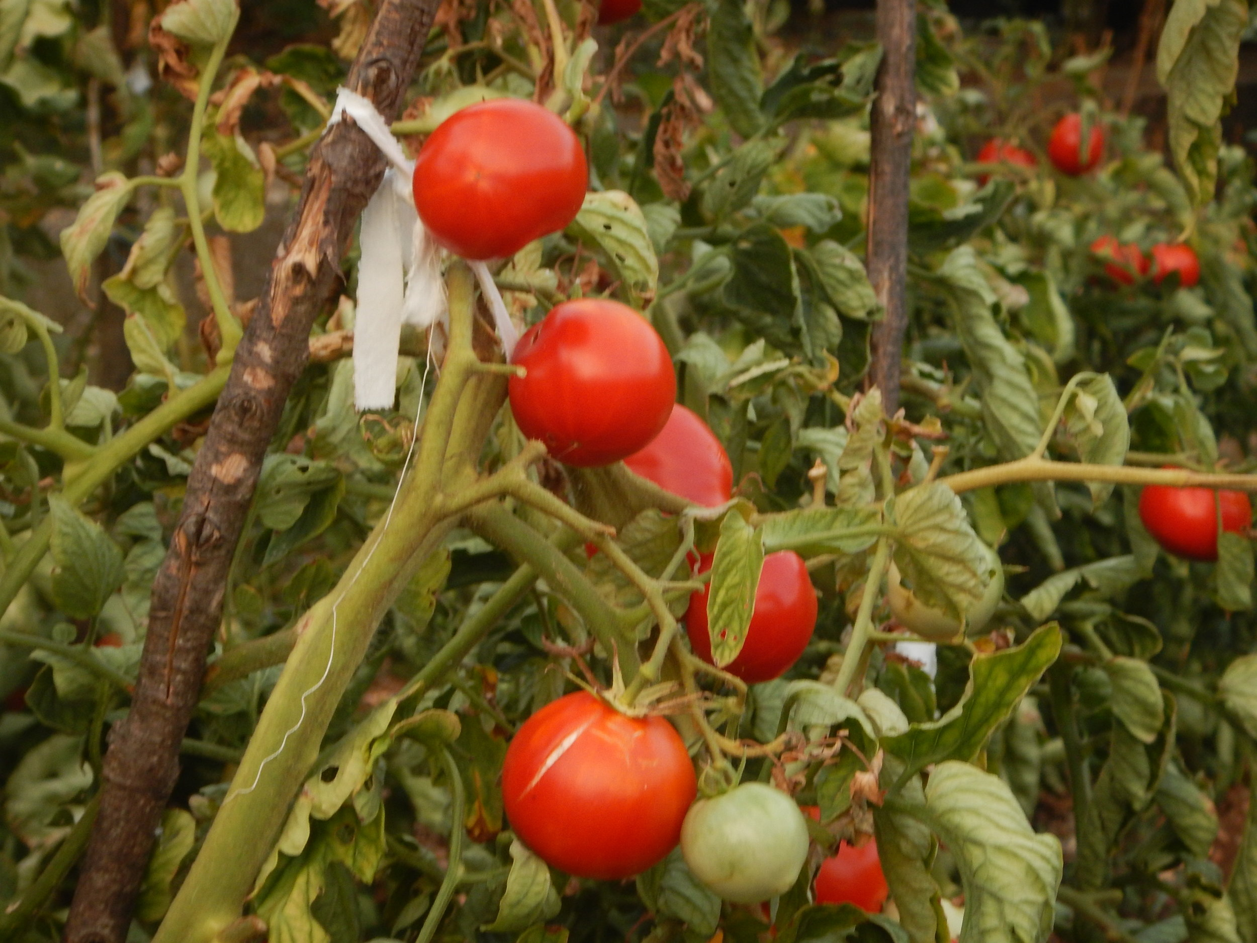 Tomatoes just bursting with flavour and goodness