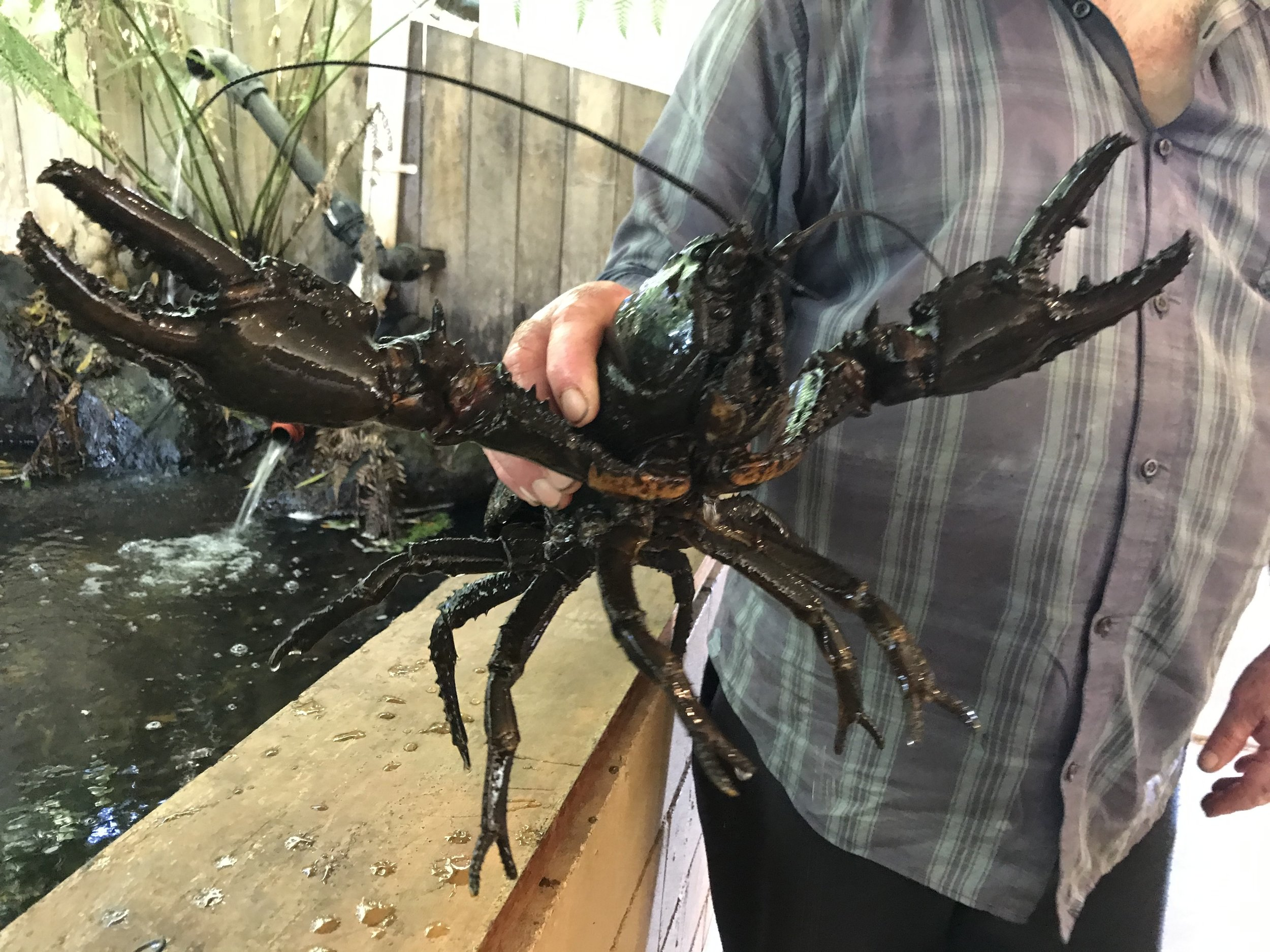 Given a chance these critters can grow up to a claw-span of one metre. Their size alone makes them an easy target for raptors and poachers. The raptors get a good dinner and the poachers get a $1000 fine per lobster.