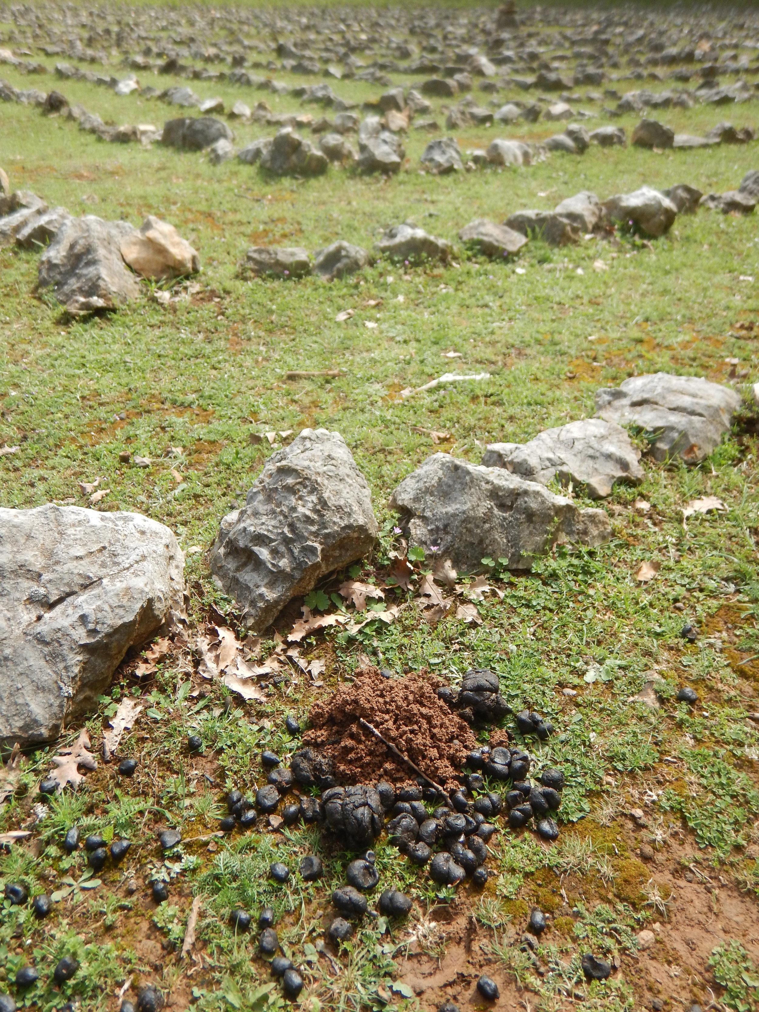Dung beetles at work