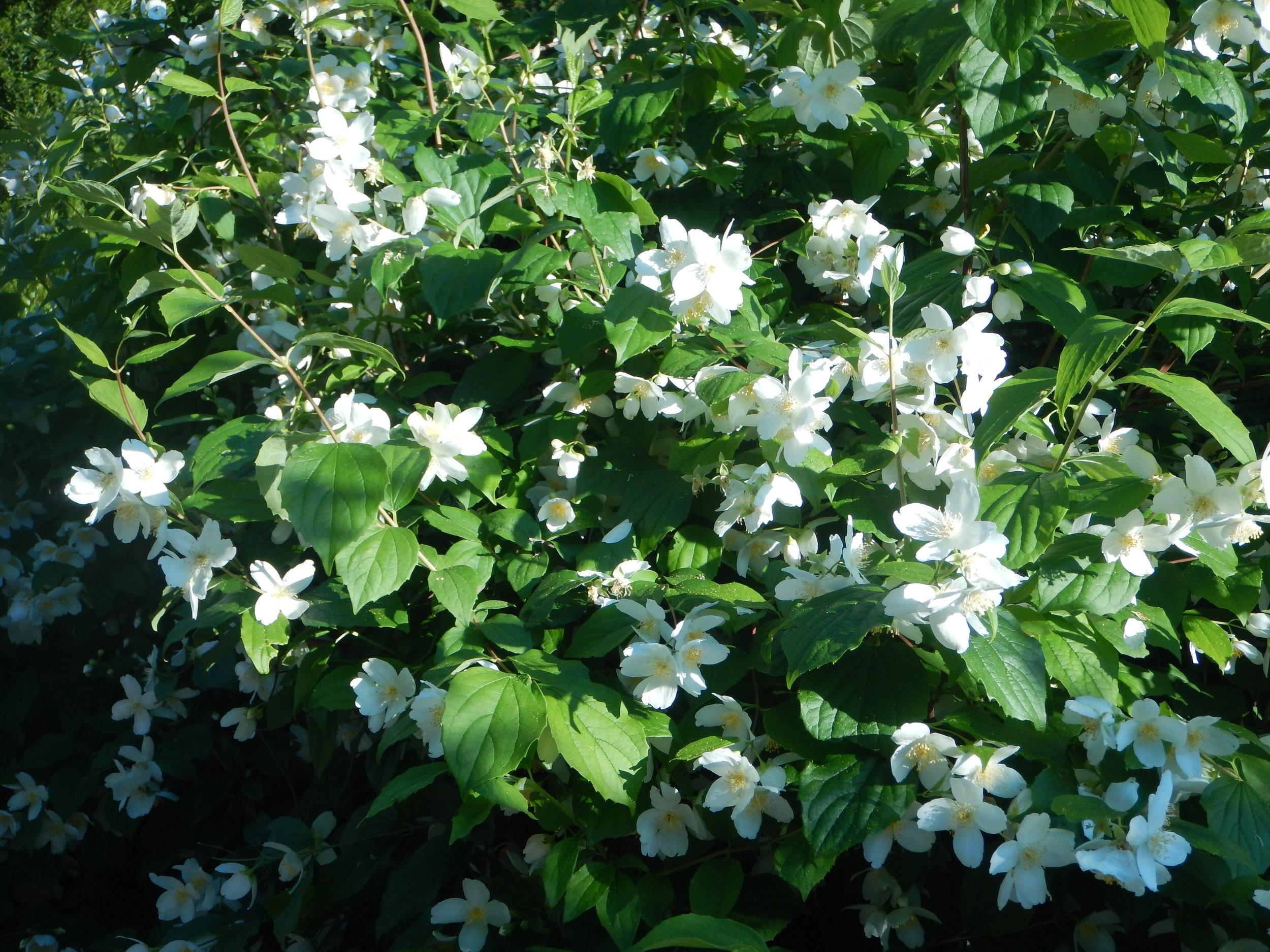 Flowering dogwood on Korcula.