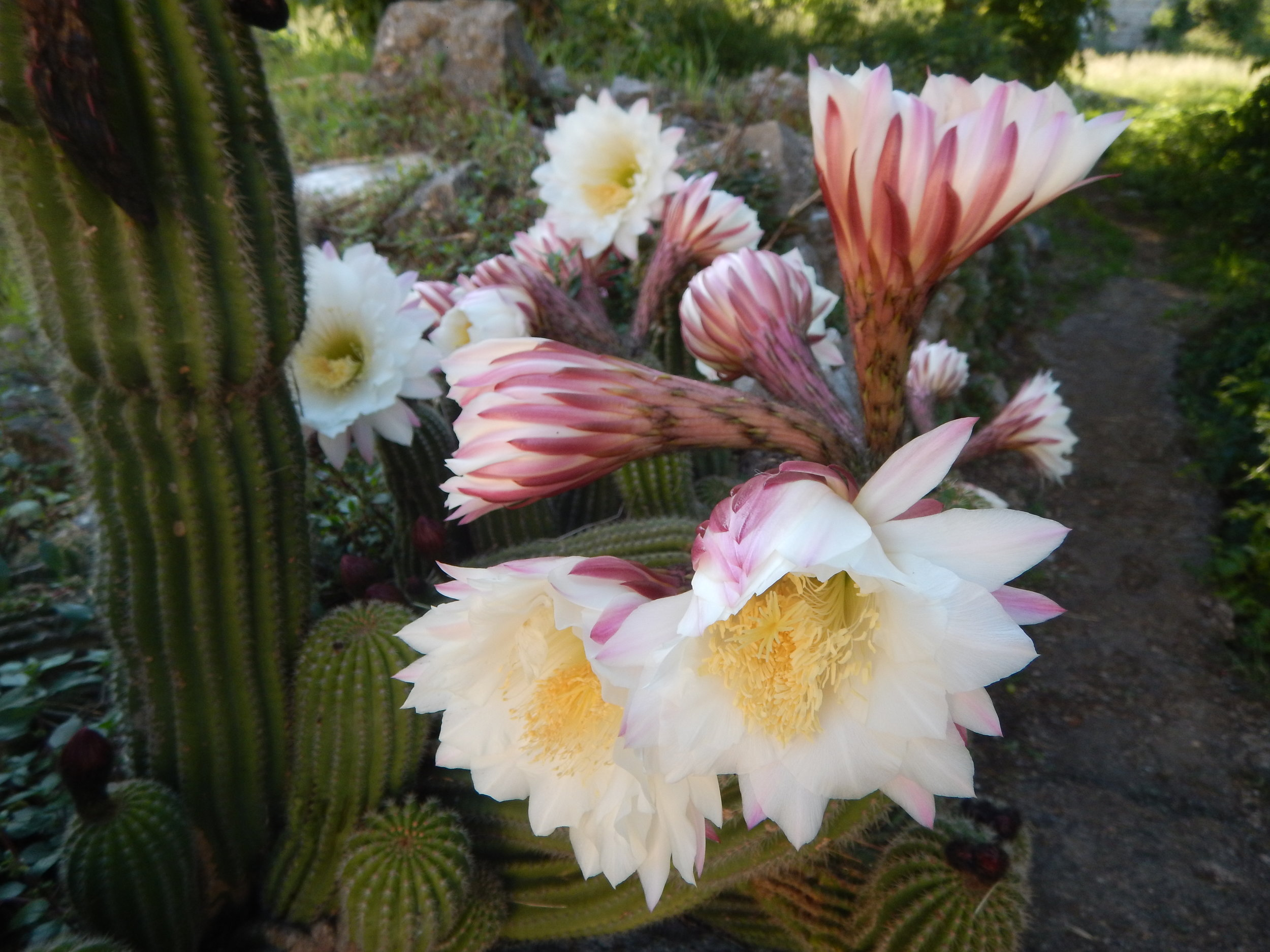 This cactus is one of her favourite plants. Blooms only flower for one day! Margot has one of these in her backyard in Mount Beauty.