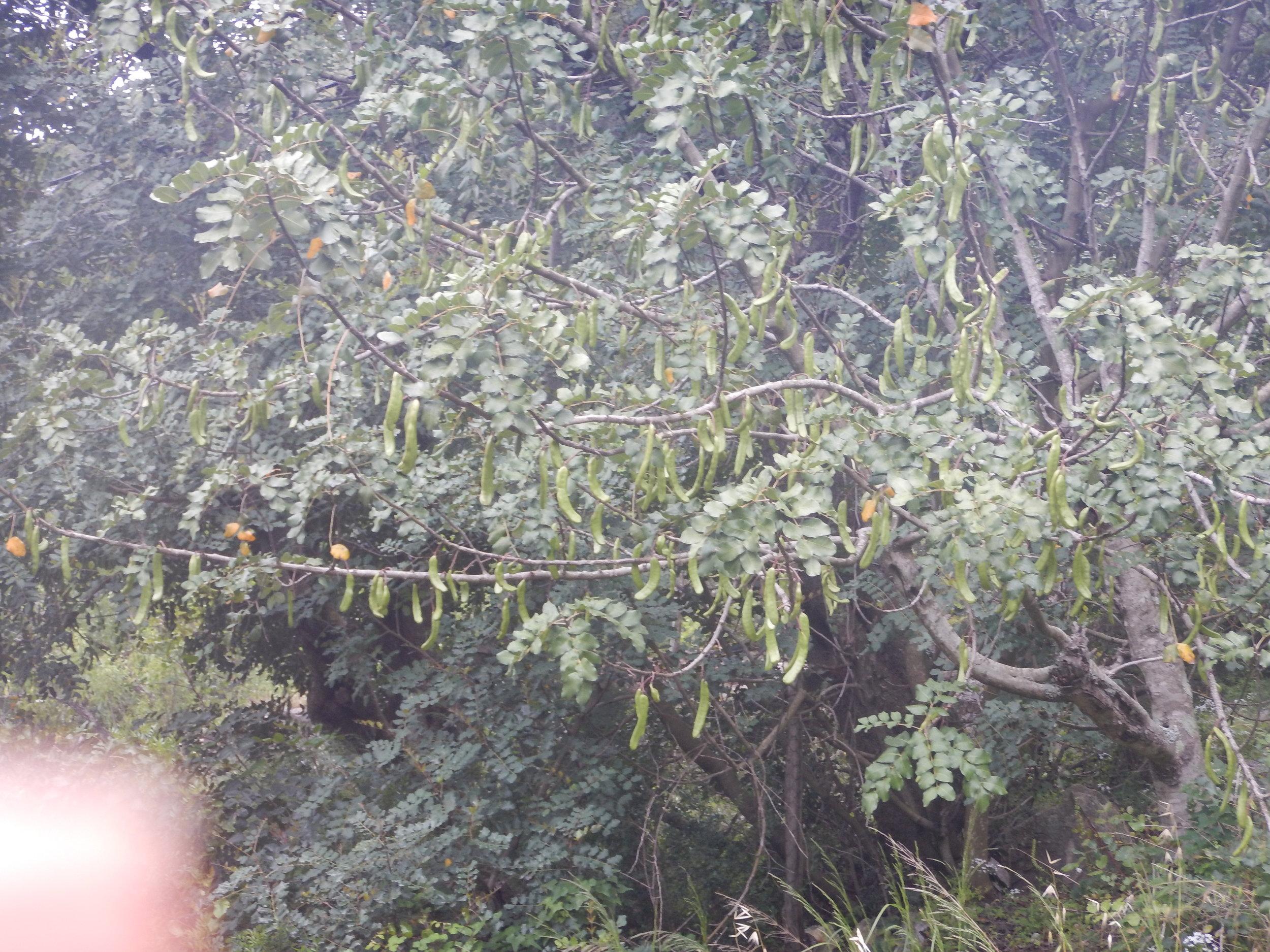 Rogac tree, a Savoury vegetable eaten when ripe in September.