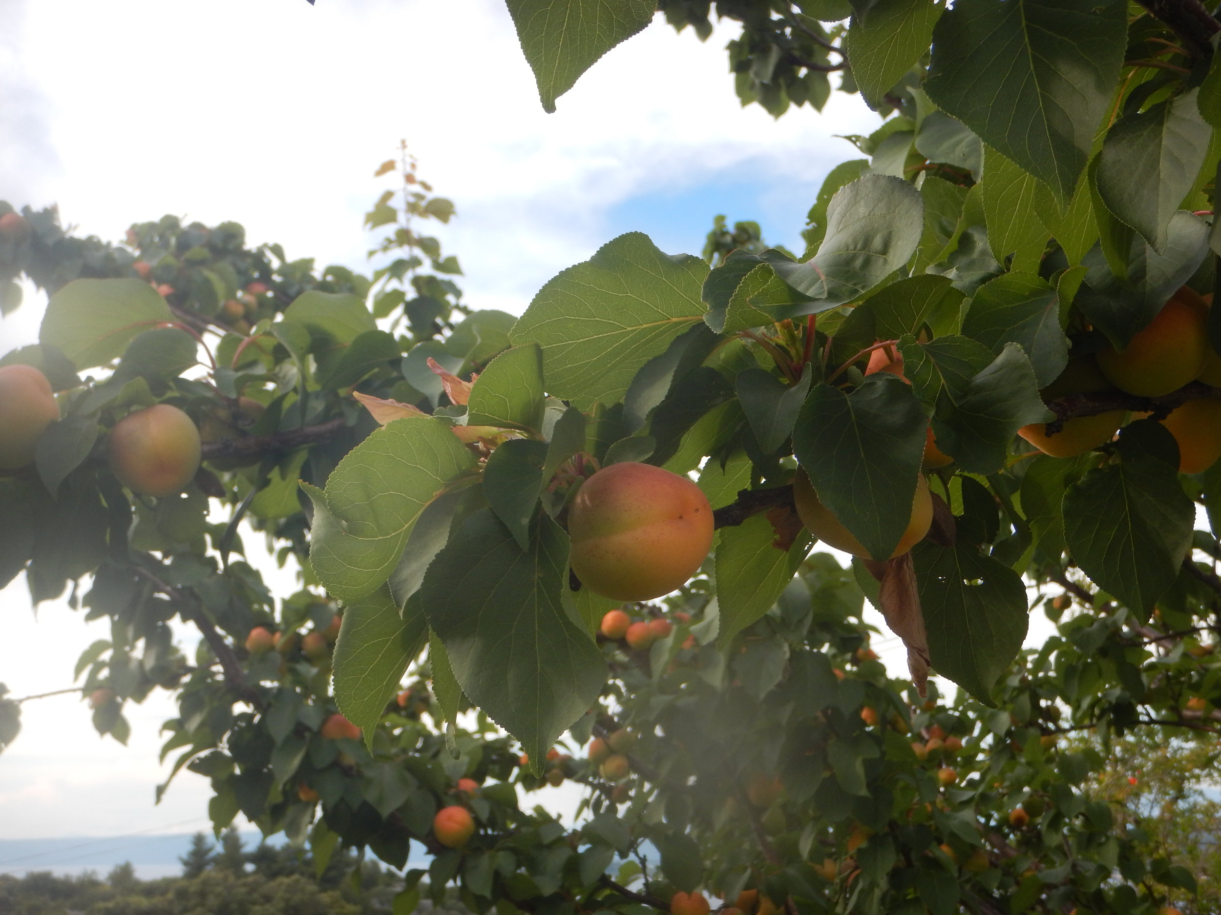 Apricot, ready in a few days. They smell magnificent.