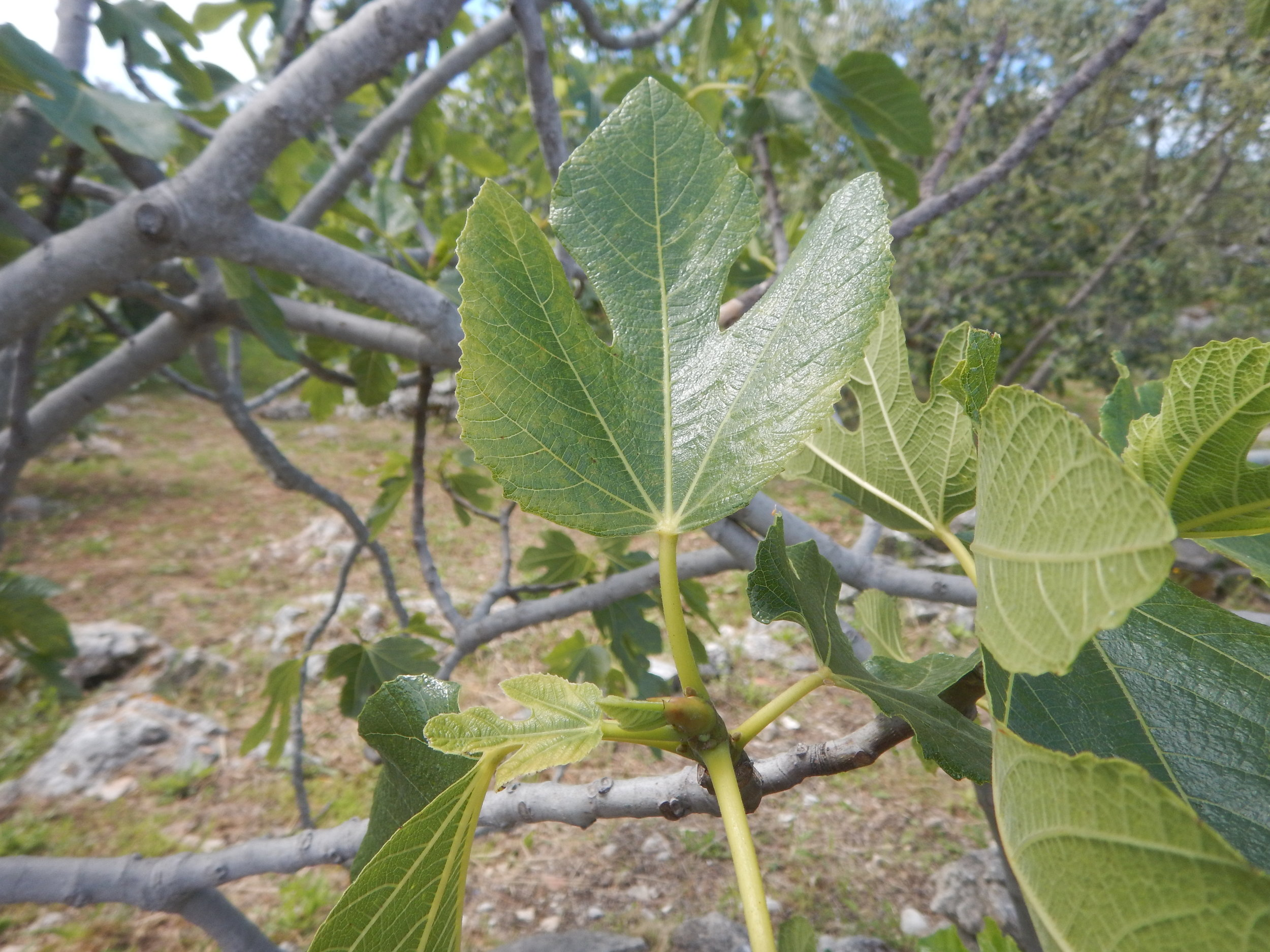 Fig, the edible variety, but not until the end of summer.