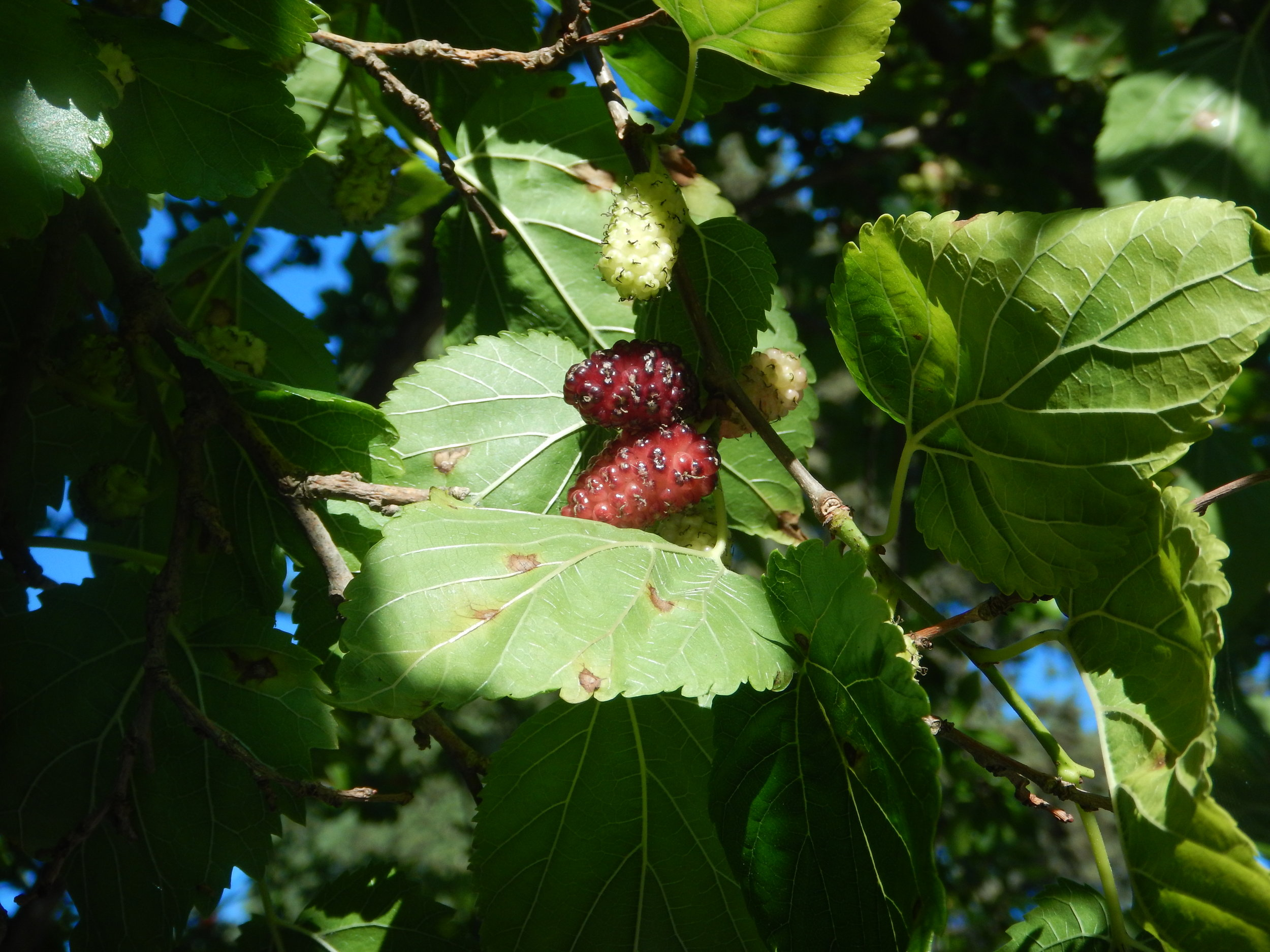 Berries, the tree looks like a mulberry, but I didn't get purple fingers or tongue after picking and eating the ripe ones.