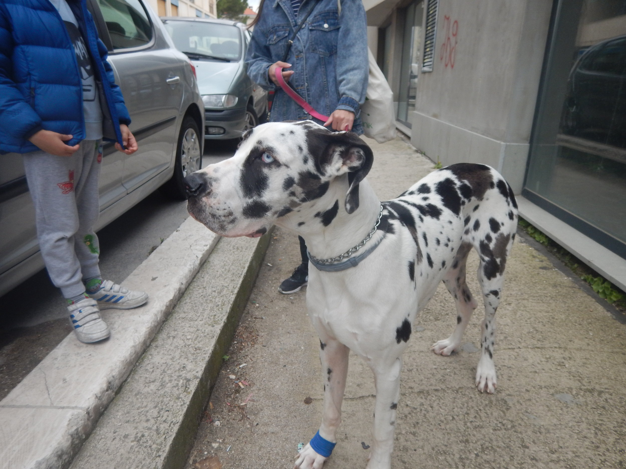 hah! I thought this was a Dalmatian, apparently not, but it does have amazingly blue eyes.