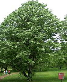 gorgeously shaped Linden Tree.