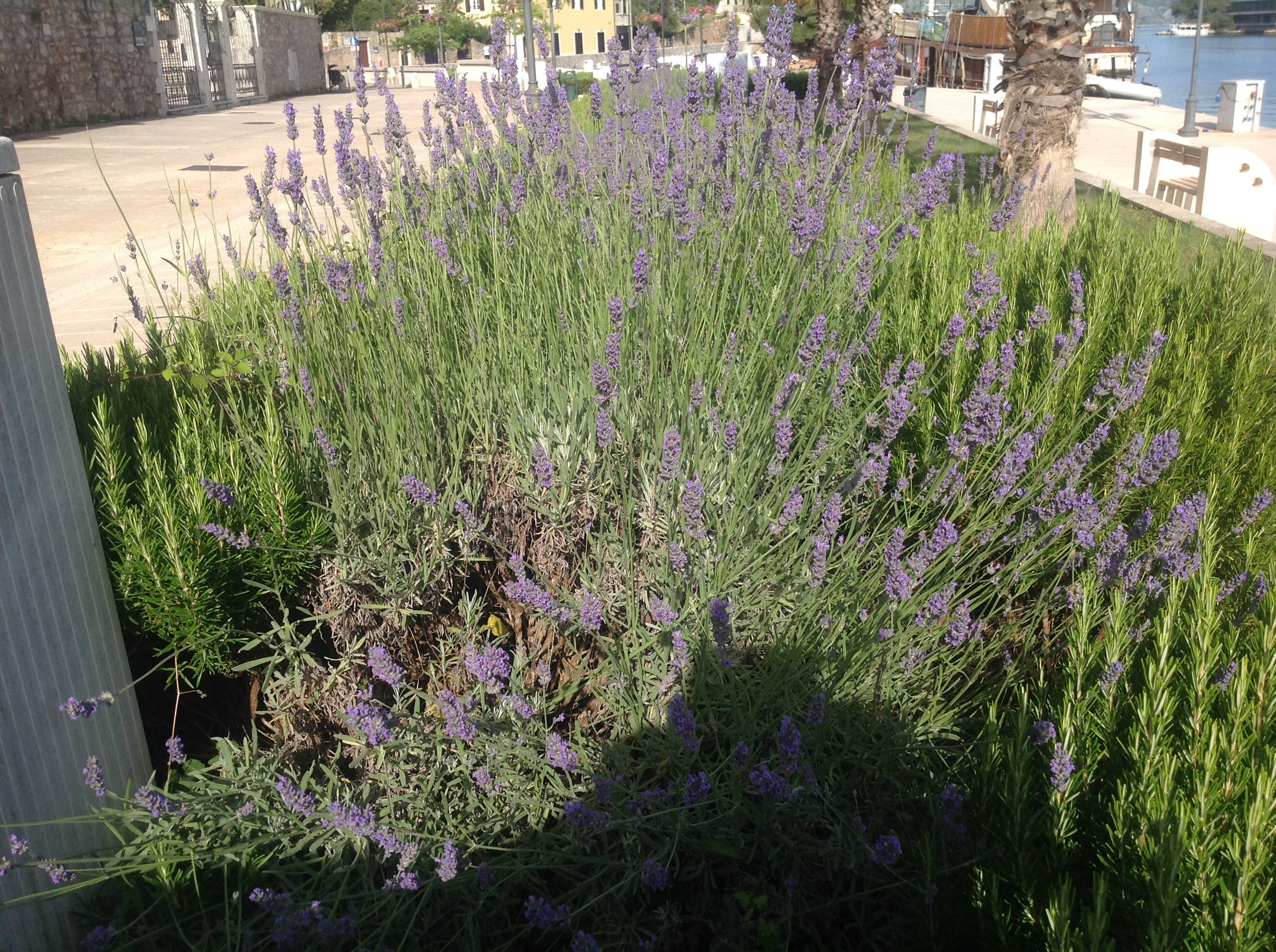 gardens in public spaces mostly grow lavender, and sometimes rosemary. Street stalls in the more touristy areas are full of lavender products. The better ones share their lavender space with rosemary and immortelle, which we know as curry plant.