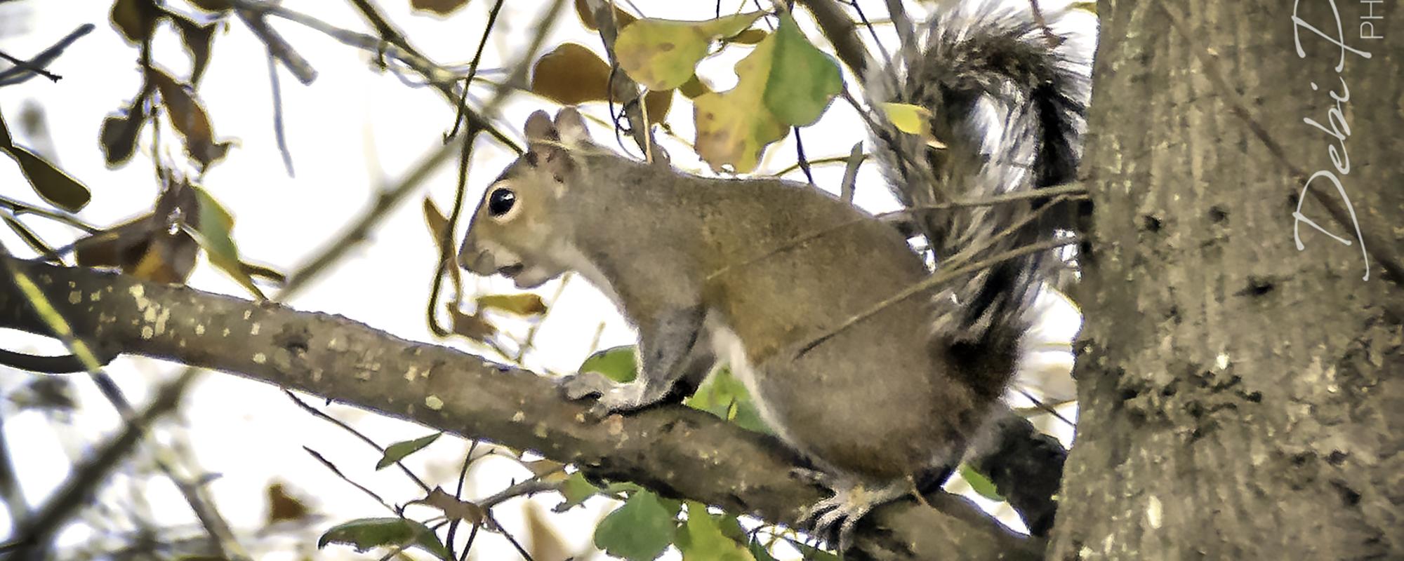 Copy of Copy of Lil' Grey Squirrel