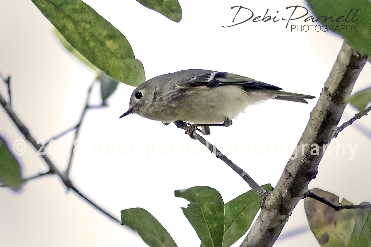 Copy of Blue-Headed Vireo. BD-003