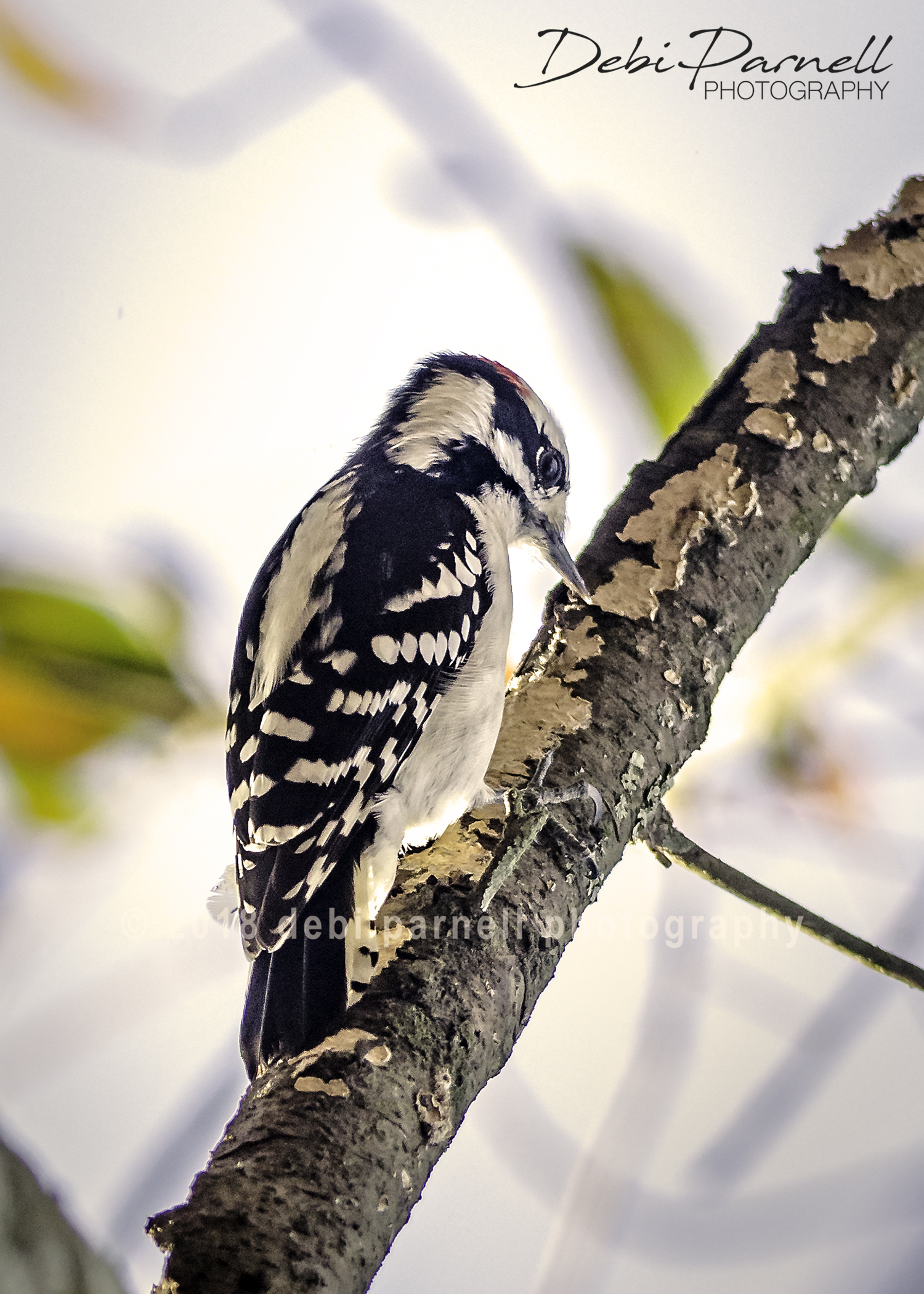 Copy of Downy Woodpecker  BD-001