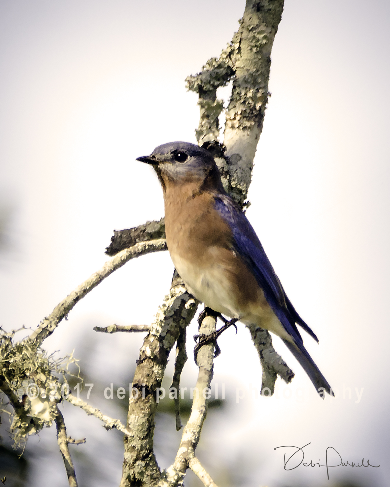 Copy of Eastern Bluebird  BD-007