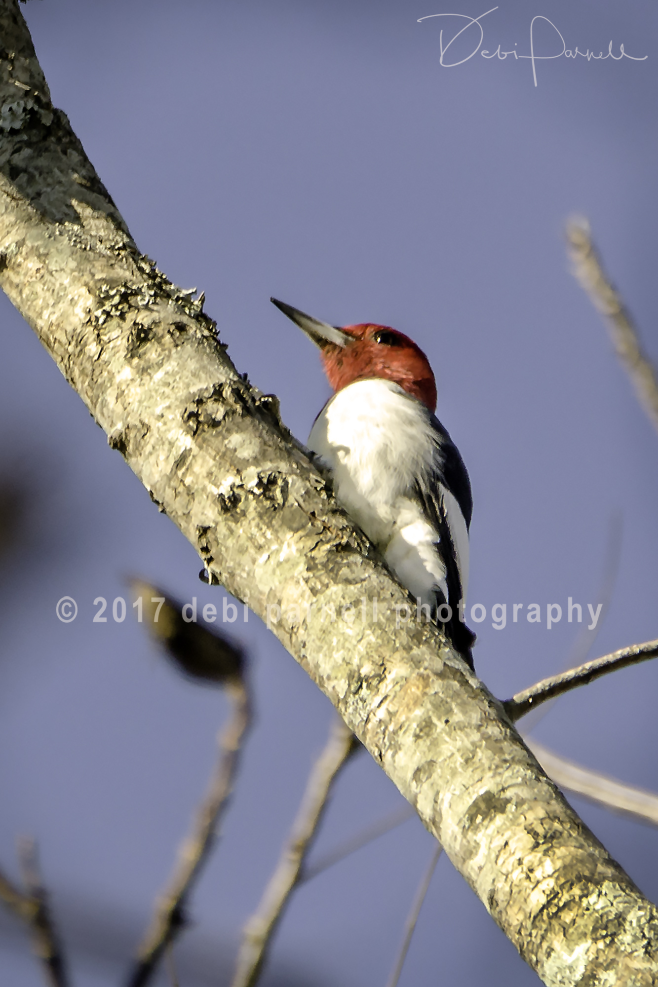 Copy of Red-Headed Woodpecker BD-008