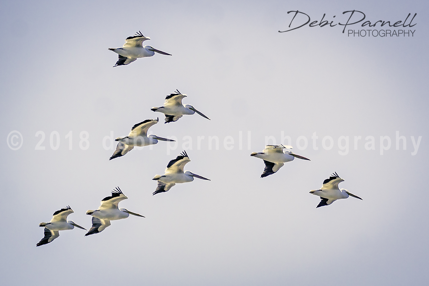Copy of White Pelicans. BD-009