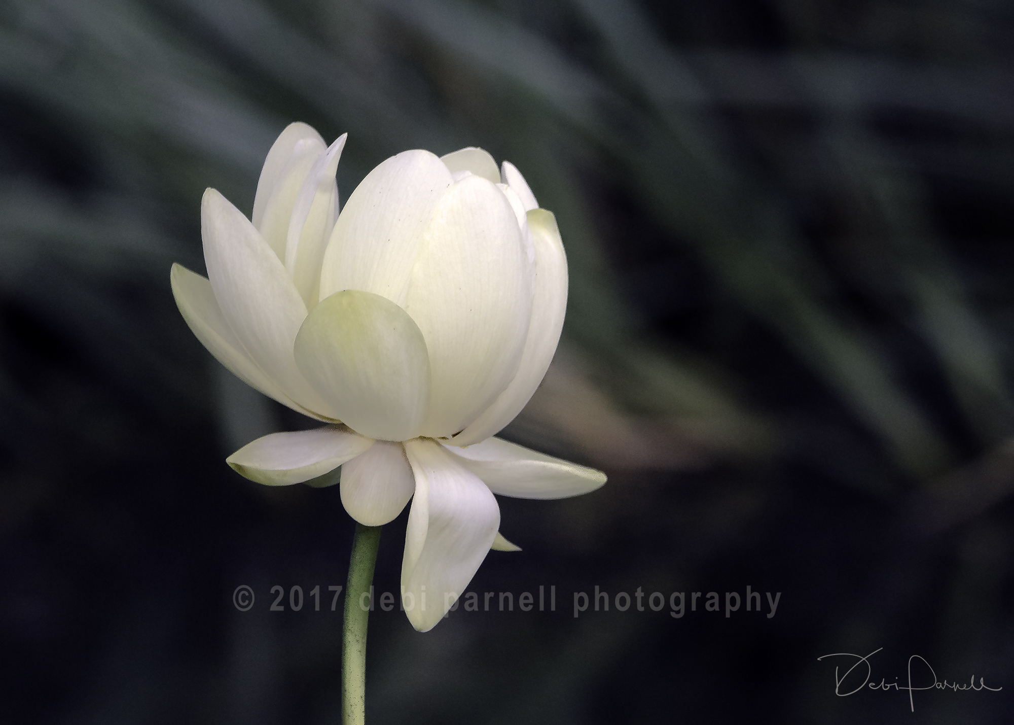 Copy of Lone Lily FL-007