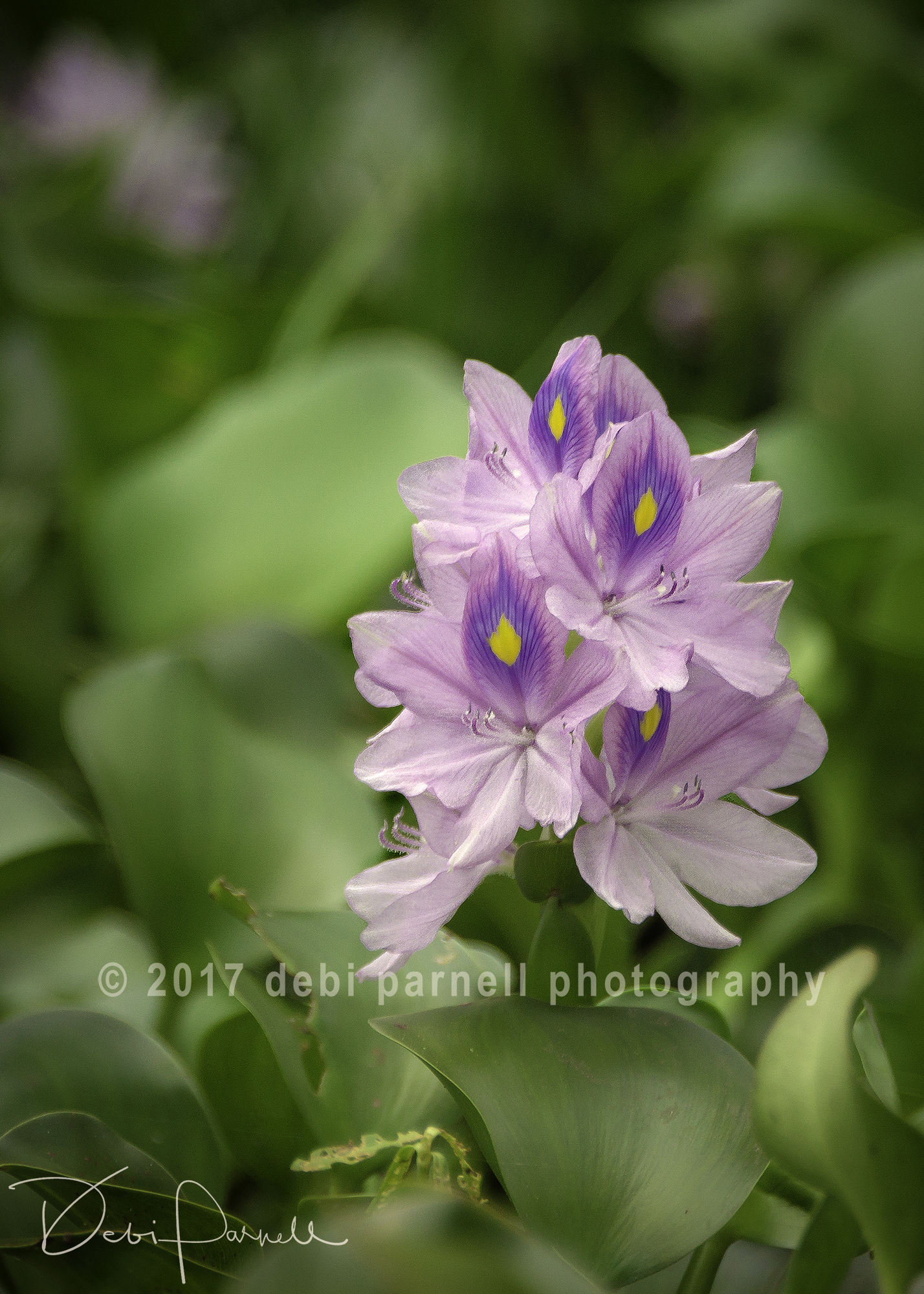 Water Hyacinth FL-003