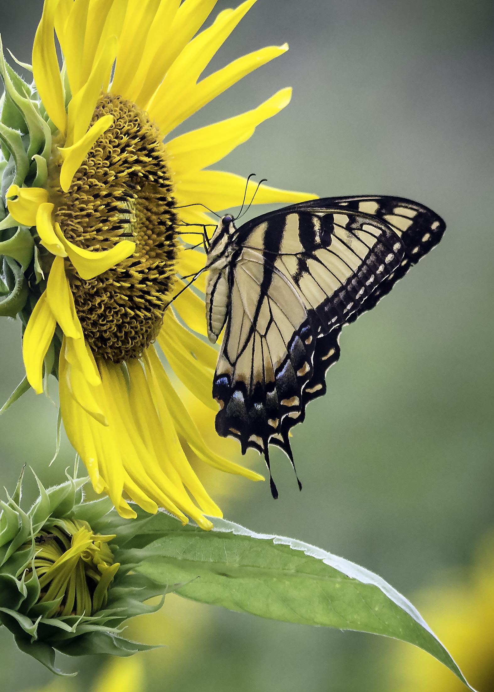 Tiger Swallowtail Sunflower.jpg