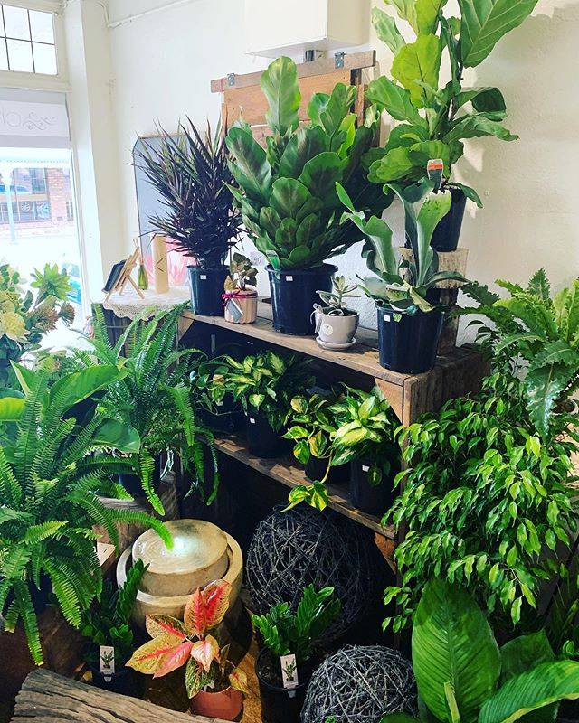 Check out the little jungle that has arrived in store! We have a wide range of potted plants so be sure to pop in store and pick out your favs 🌱  #chartersflowers #florist #charterstowers #getoutbacktocharterstowers #plants #plantsofinstagram