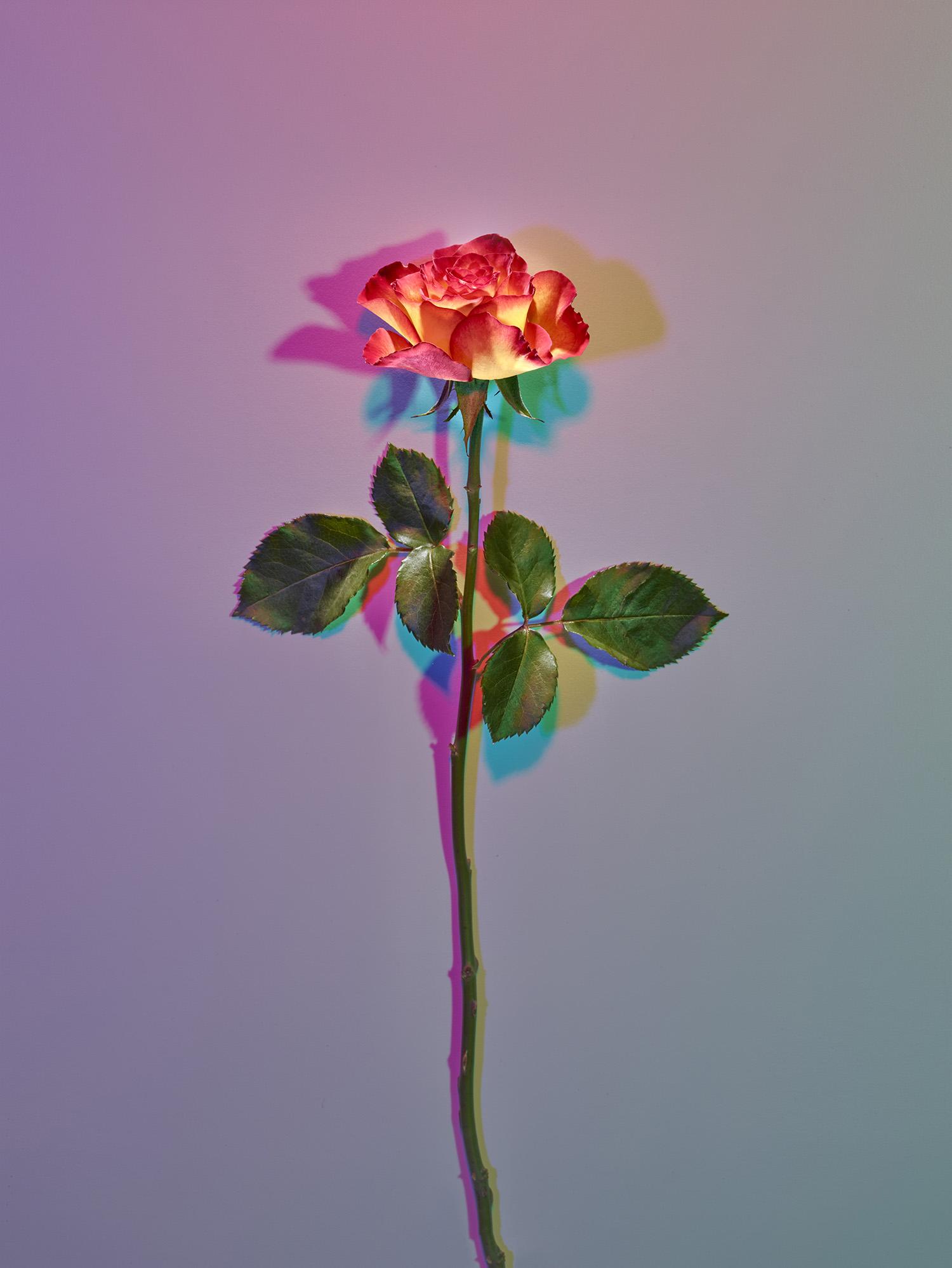 vari-rose.jpg