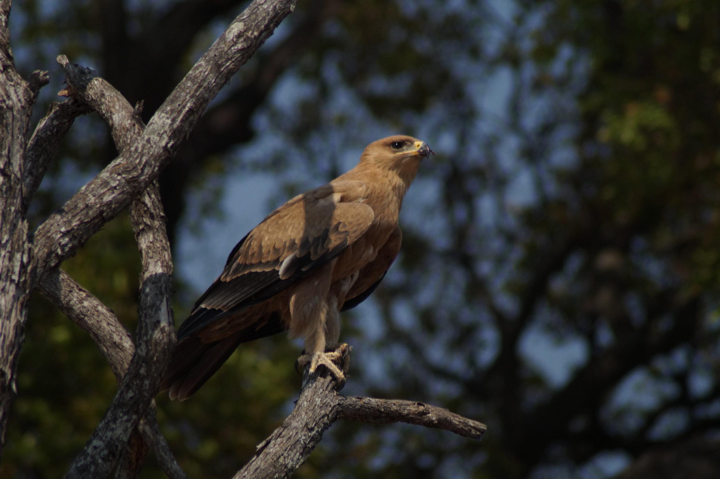 Tawny Eagle in Hwange National Park