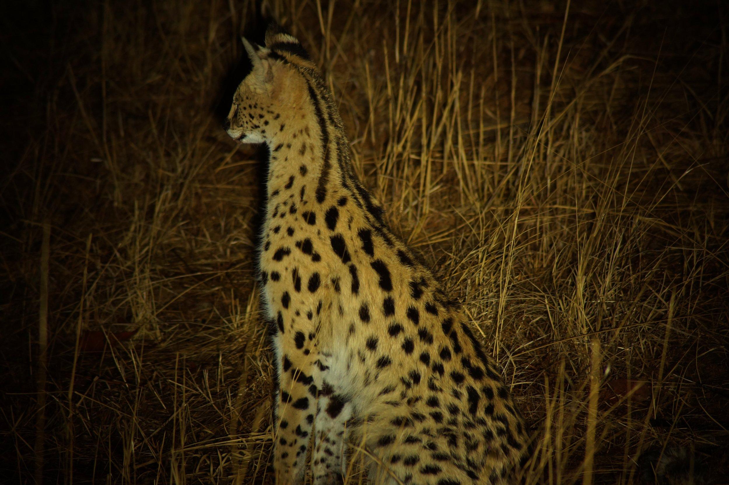 Serval in Hwange Natioanl Park