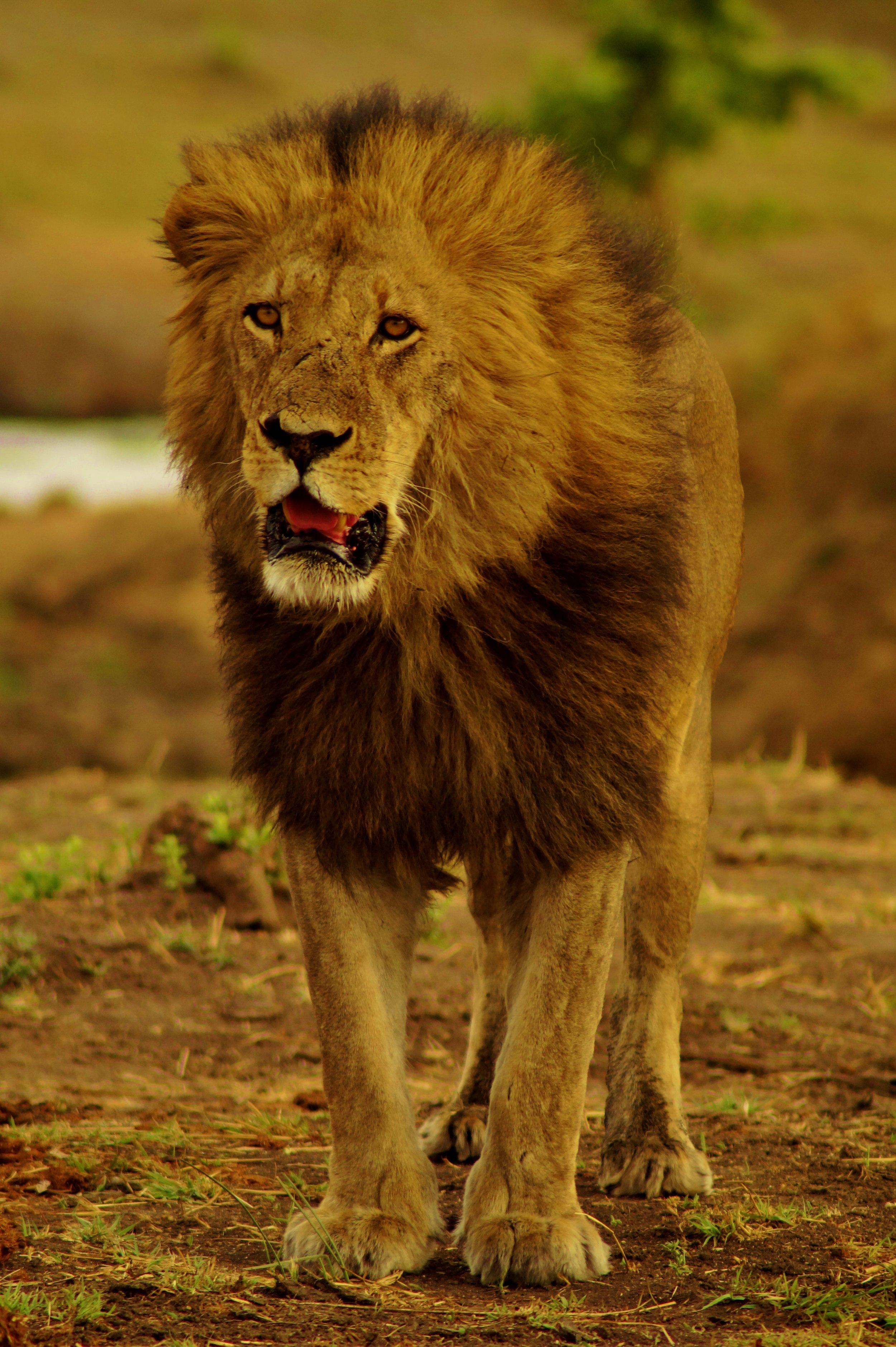 Male lion in Hwange Natioanl Park