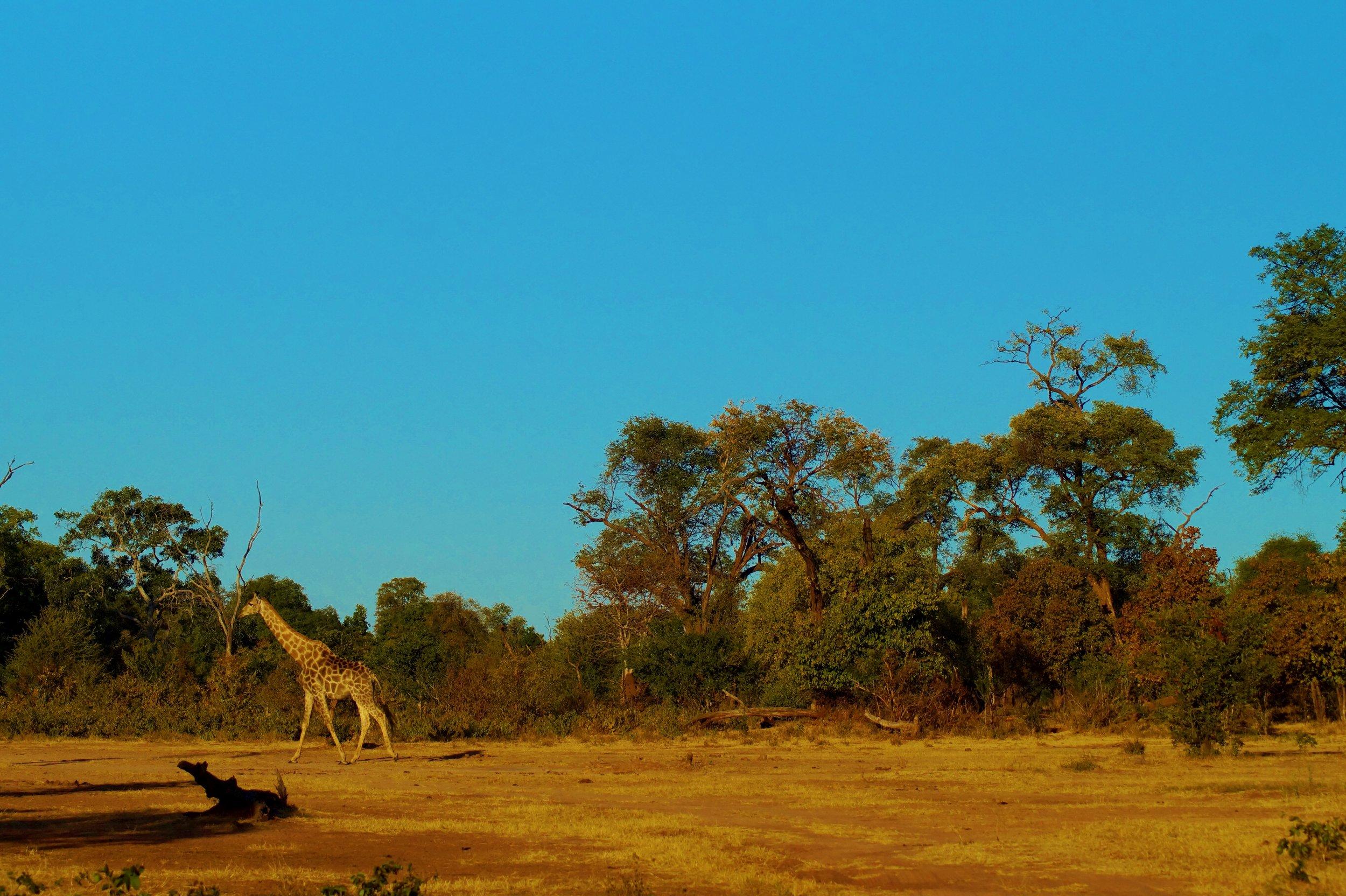 Giraffe in Zambezi National Park