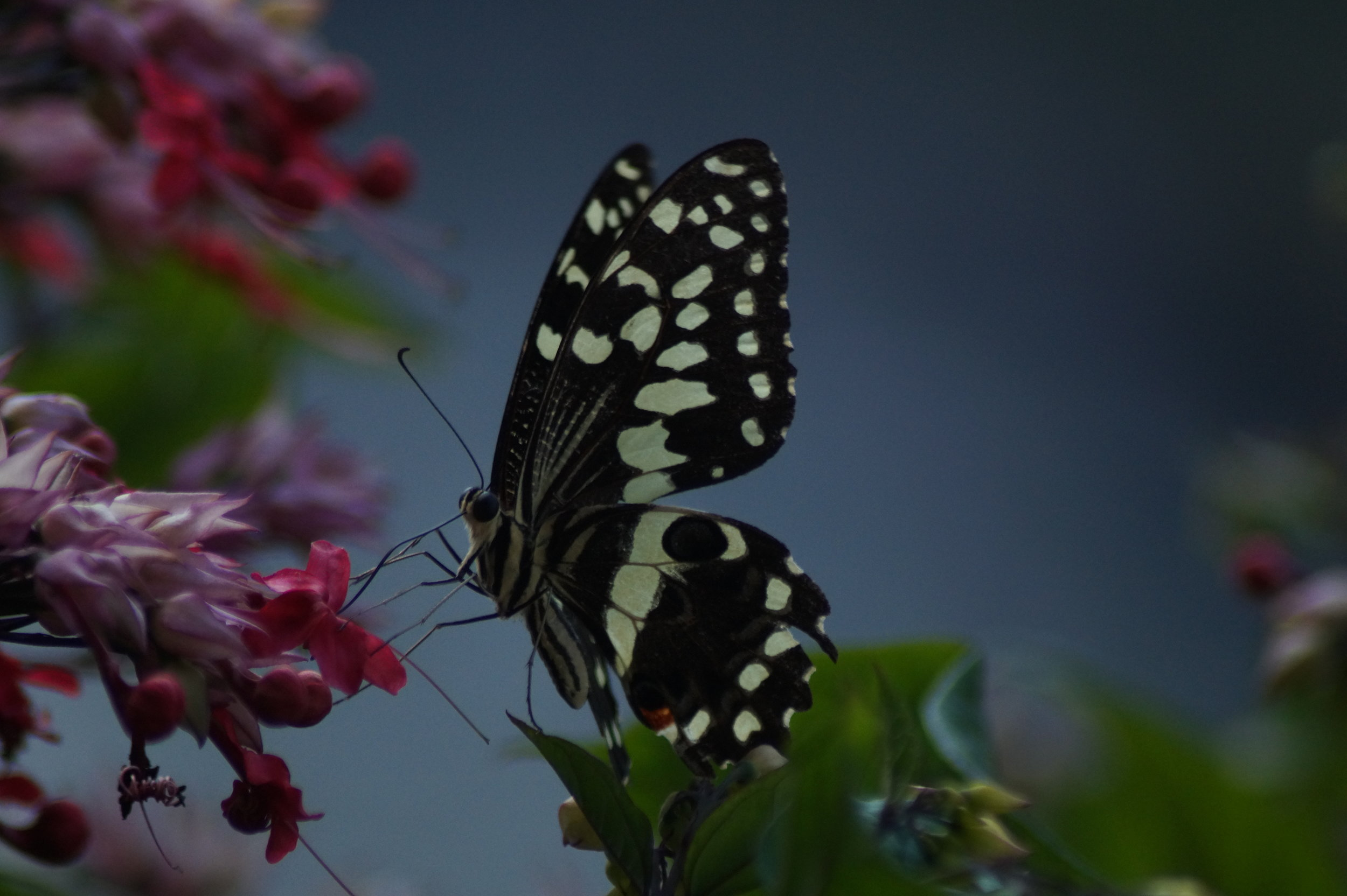 Citrus Swallow Tail Butterfly
