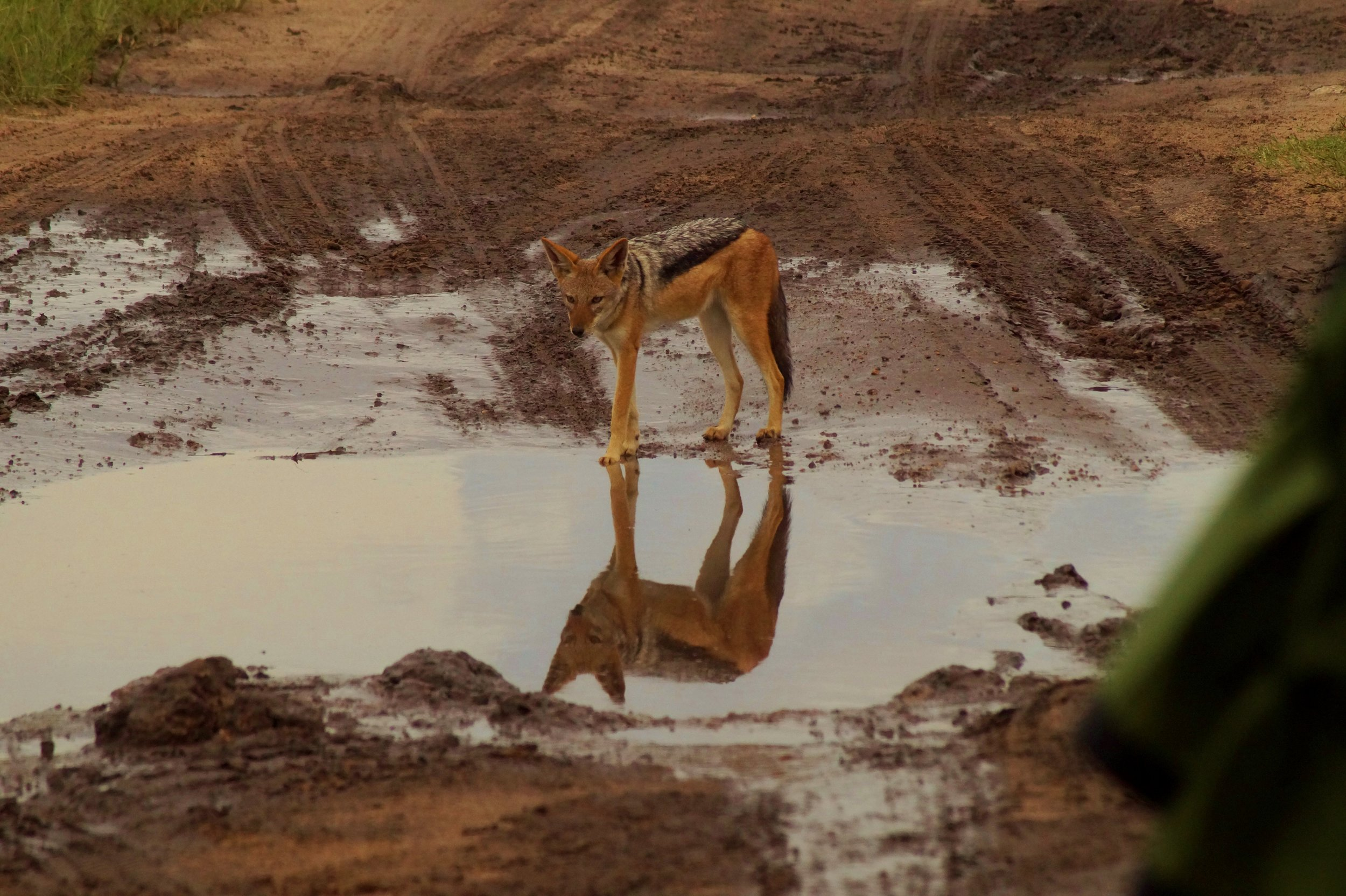 A Black Backed Jackal about to have a drink of water from one of the many puddles from the recent rains.