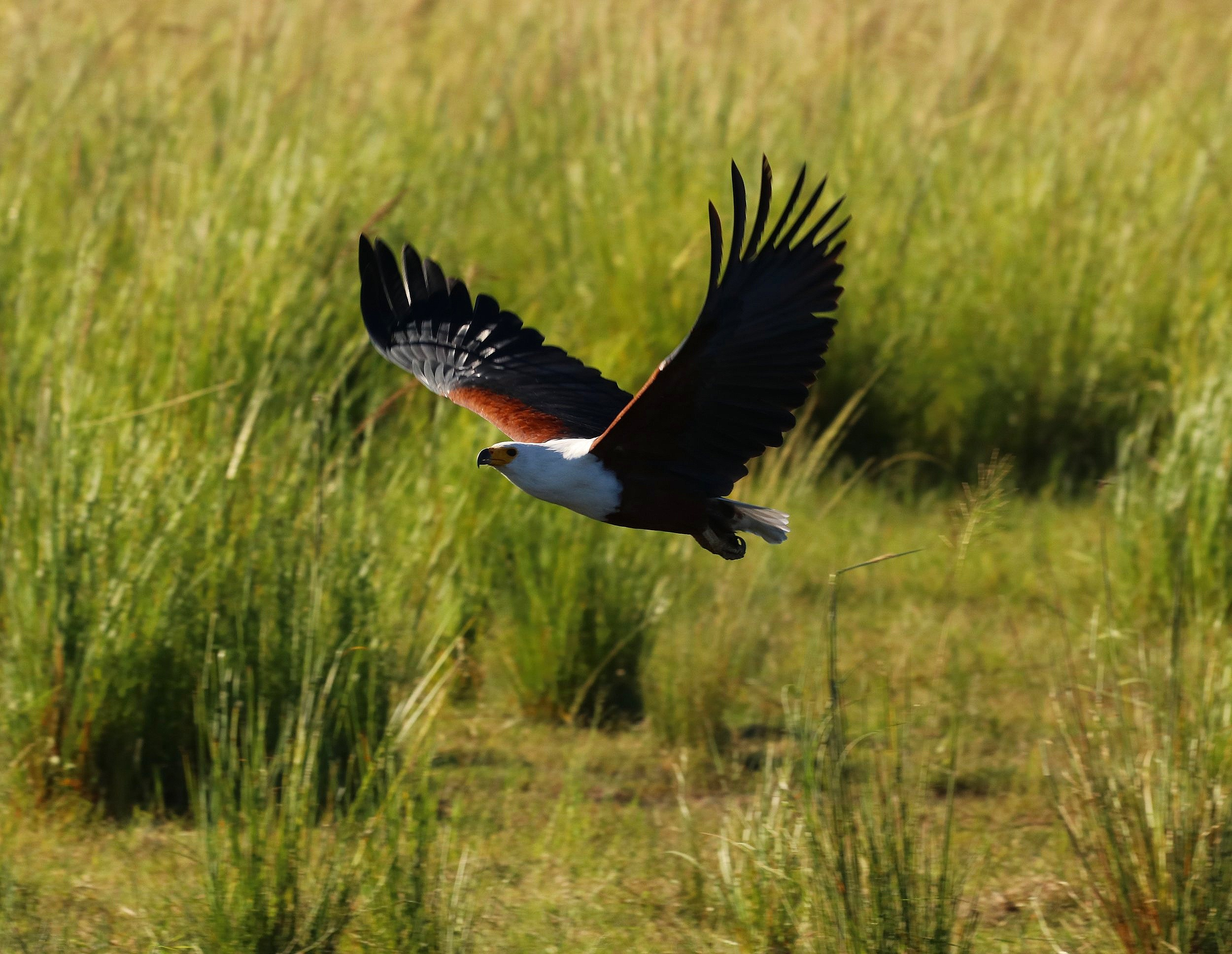 African Fish Eagle - Chobe River