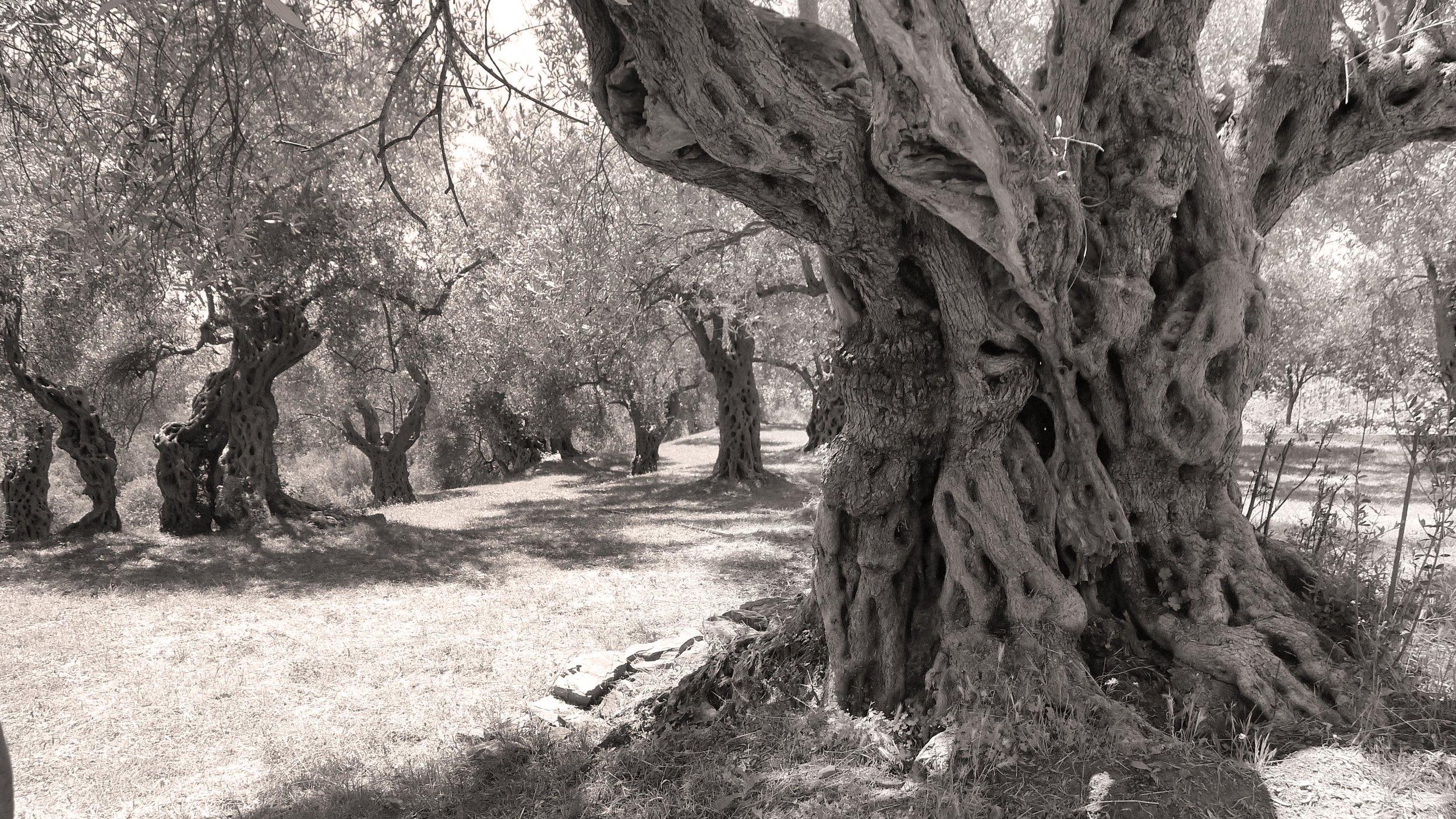 OLD-TREE-SMALL.jpg