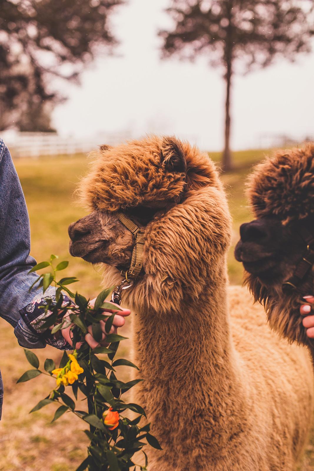 alpacas-281.jpg