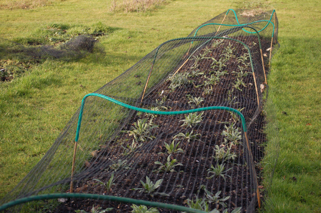 Covered in ugly netting to keep off the deer and rabbits who love overwintering cornflowers