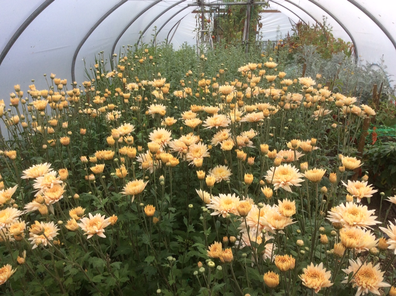 One of Carol's poly tunnels with Chrysanthemums waiting to be cut