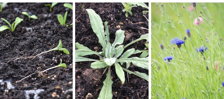 Cornflowers seedling to plant.jpg