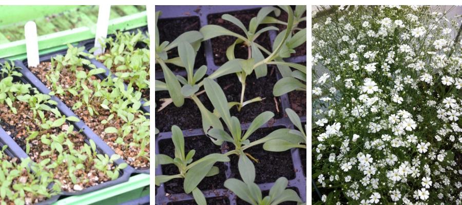Gypsophila seedling montage.jpg
