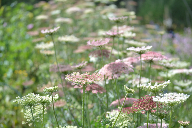 Row of Daucus dara.jpg