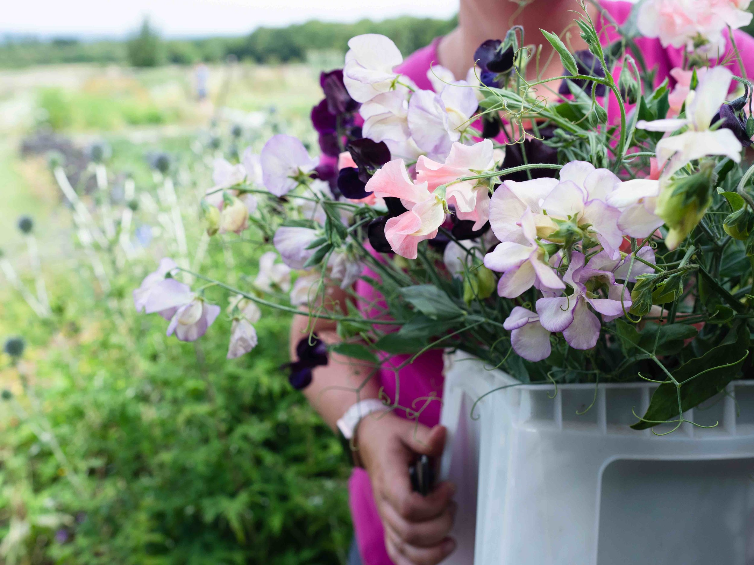 bucket of sweet peas.jpg
