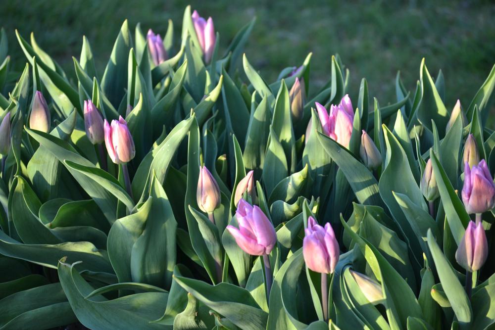 candy prince tulips-1.jpg
