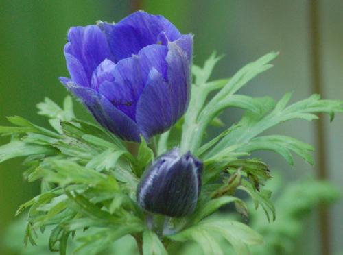 1st anemones (1 of 1).jpg