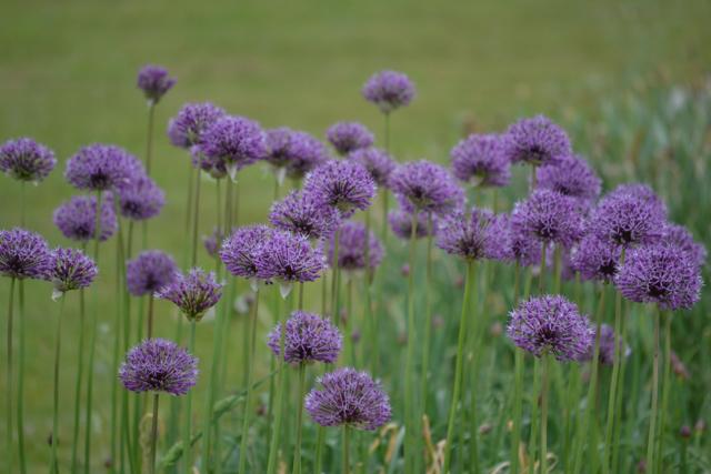allium purple rain.jpg