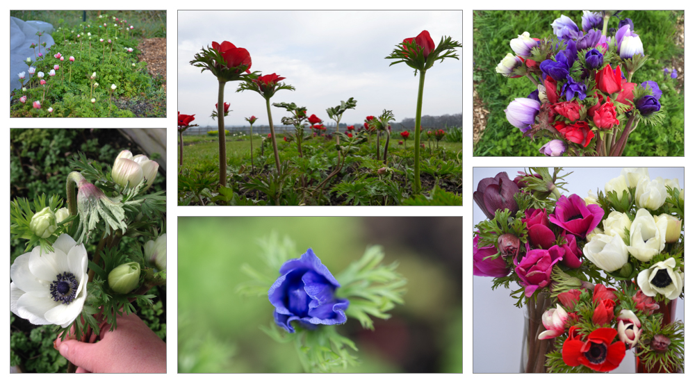Anemone montage.jpg