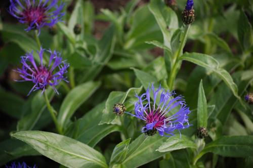 blue centaurea (1 of 1).jpg