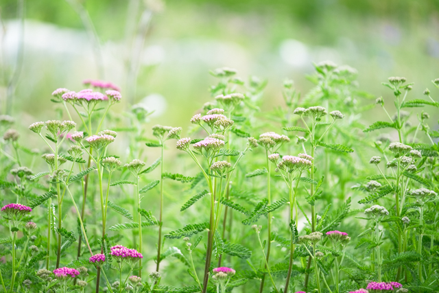 Achillea from seed, also easy to grow from division