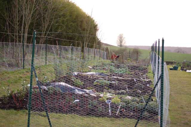 Attempt by Claire to keep deer out of new perennial beds!
