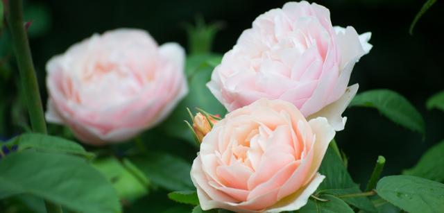 Rose trio.jpg
