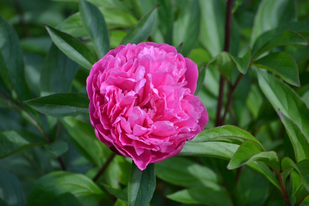 Peony in open bloom.jpg