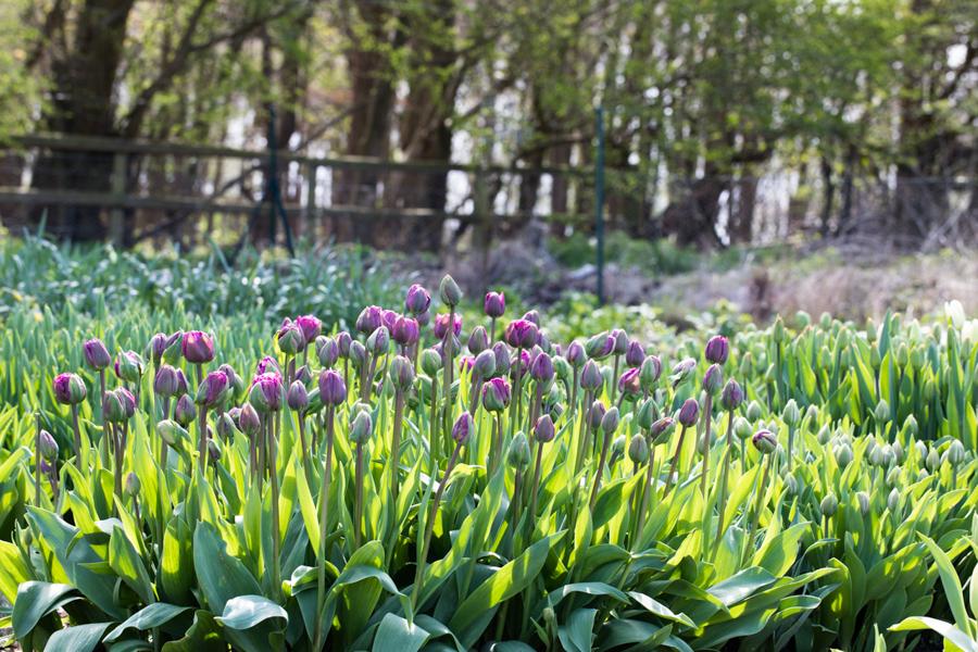 Tulip view of field.jpg